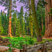 Big Trees Trail Panorama1 by Michael F. Nyiri