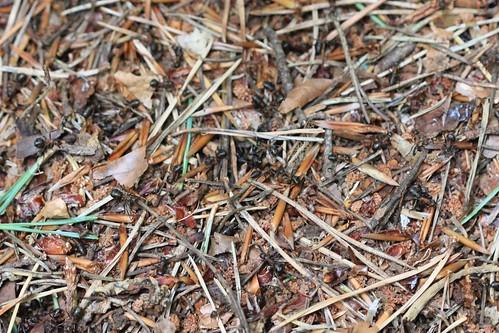 Wood Ants - Ashdown Forest