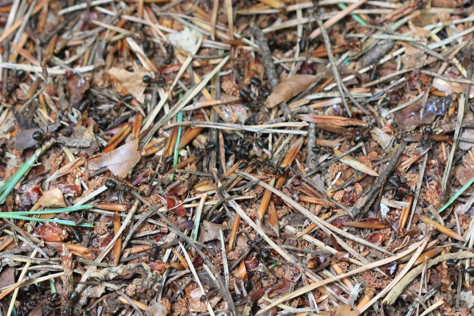 Wood Ants - Ashdown Forest