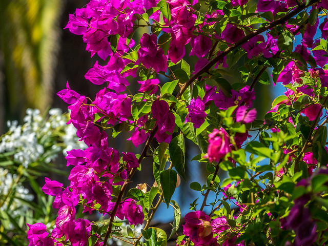 Bougainvillea, Oleander and Palm