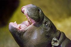 Pigmy hippo with open mouth