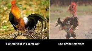 semester_chicken