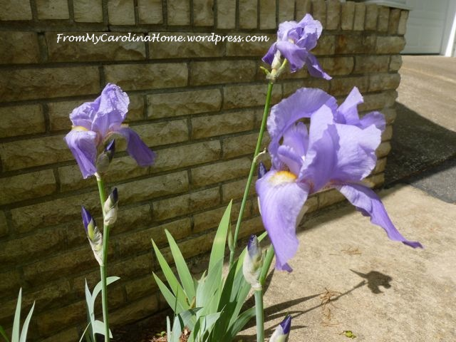 Irises May 2015