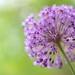 Allium 'Purple Sensation' by myu-myu