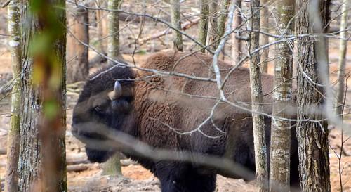 usa alabama eua bison bisão