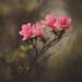 Painterly Azaleas by Tammy Schild