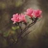 Painterly Azaleas