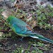 Red-rumped parrot by Hone Morihana