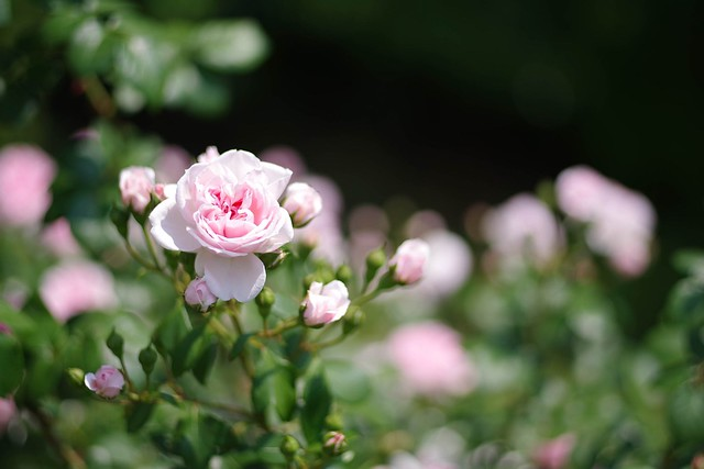 2016/05/21_古河庭園バラフェスタ-23