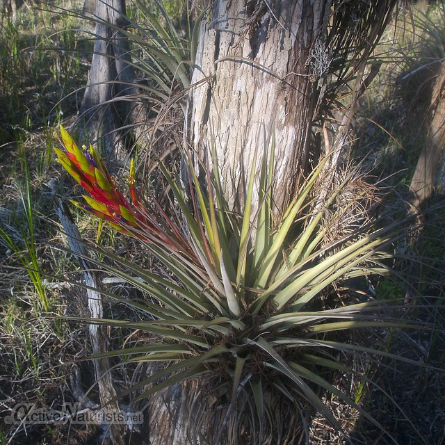 bromeliad 0000 Gator Hook Trail, Big Cypress National Preserve, Florida, USA