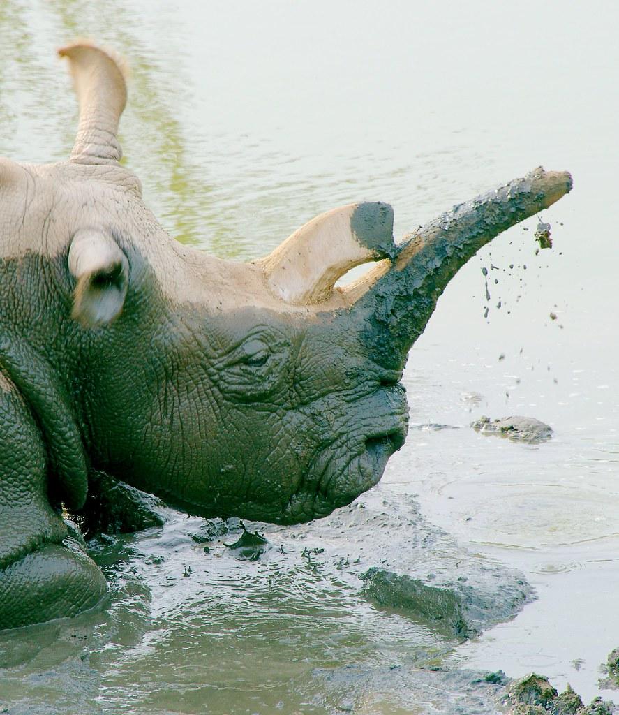 Northern white rhinoceros (Ceratotherium cottoni)_106