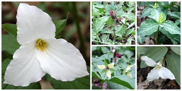large trillium, prairie trillium, yellow trillium, a different yellow variety, snow trillium