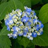 My favorite flower of the spring and summer #hydrangeas