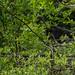 Grey heron juvenile