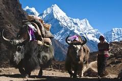 Yaks als Lasttiere auf dem Weg zum Basislager des Mount Everest. Foto: Archiv Härter.