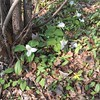 Morning walk - #springtime in #Oakville #trilliums