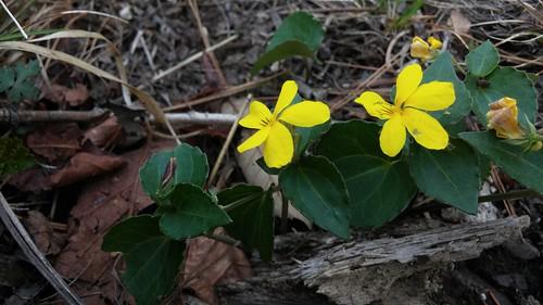 노랑제비꽃 | 시루봉-청화산행