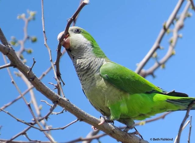 Monk Parakeet / Quaker Parrot
