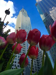 Tulips at the Chrysler Building