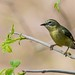 Female Black-throated Blue Warbler (Setophaga caerulescens)