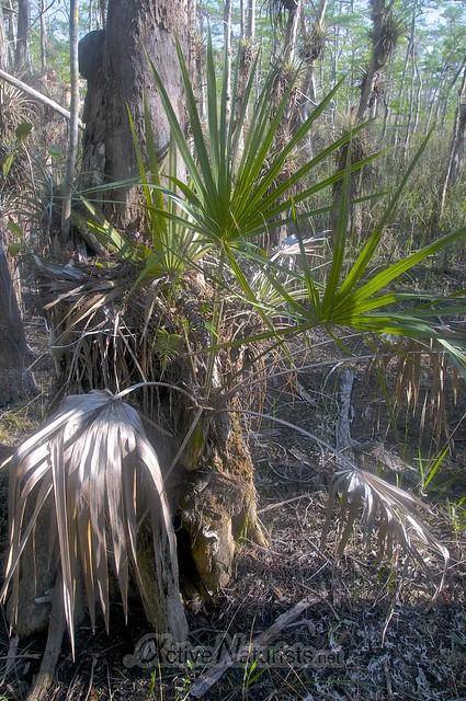 palm tree 0000 Gator Hook Trail, Big Cypress National Preserve, Florida, USA