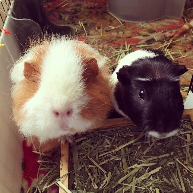 HI HELLO THIS IS LITTLE PIG WE HEARD THE CALL OF CARROTHULHU THANK YOU I LOVE YOU