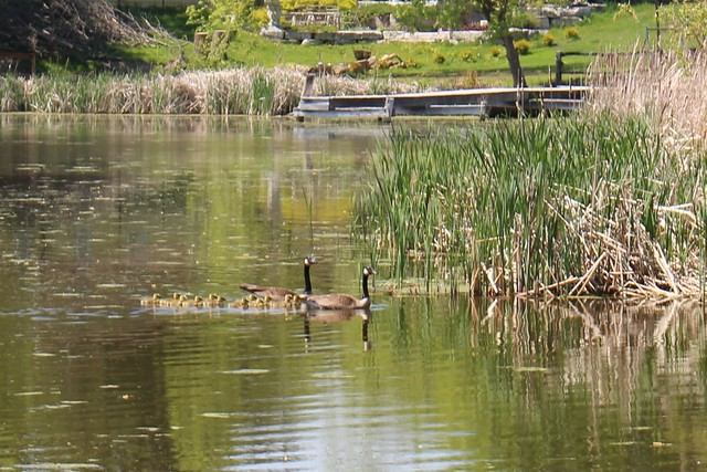 canada-geese-babies