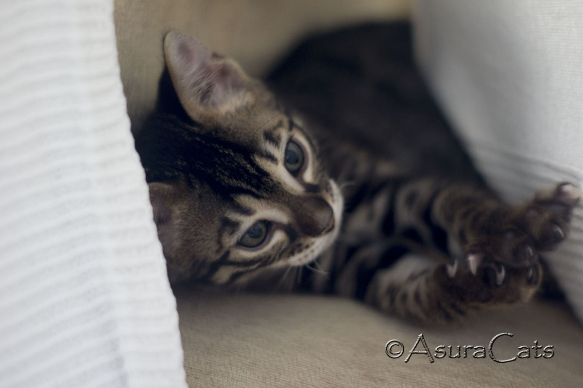 Brown rosetted double charcoal carrier (Apb/Apb) Bengal kitten