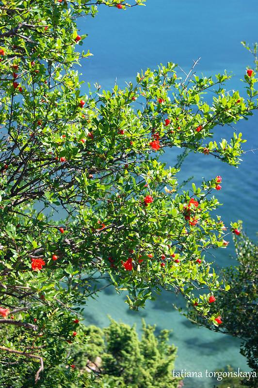 Цветущее гранатовое дерево