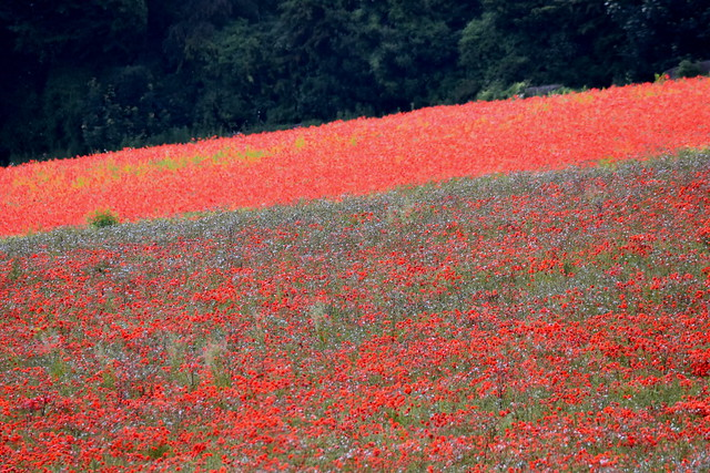 Fields of red.