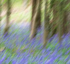 Bluebell Dream