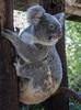 Nursing koala