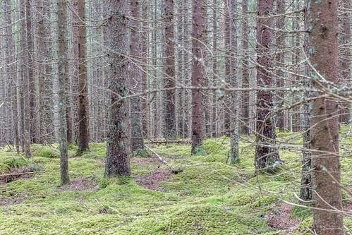 trees mist tree norway fog forest woods moist hedmark eidskog skotterud nessjøen furufjell