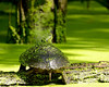Turtle Covered in Duckweed