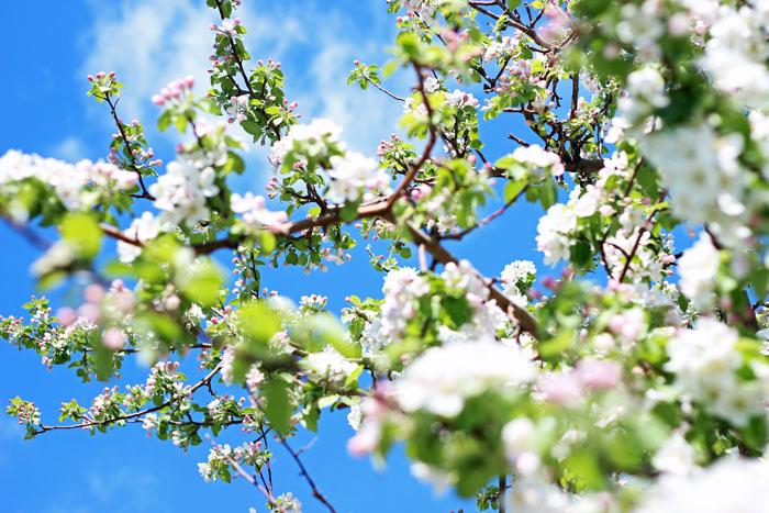5_vergers-lafrance-pommiers-fleurs