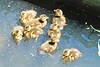 8 Mallard Ducklings 15-0530-4675 by digitalmarbles