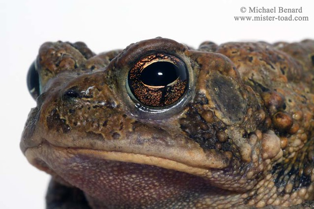 Portrait of an American Toad