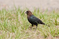 cinclidae(0.0), common myna(0.0), acridotheres(0.0), animal(1.0), prairie(1.0), fauna(1.0), beak(1.0), blackbird(1.0), bird(1.0), wildlife(1.0),
