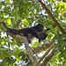 Small photo of Mantled howler monkey (Alouatta palliata)