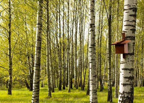 green spring sweden haninge handen birches nestbox silverbirch fågelholk söderbygård wintercount2015