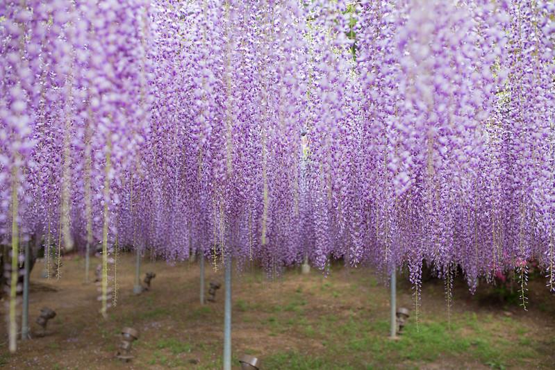 ashikaga_flowerpark-24