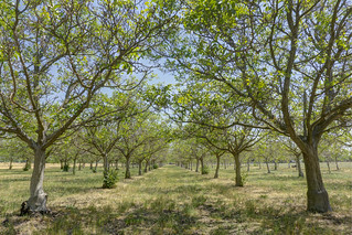 Walnut_Orchard_20150503P1060968_HDR