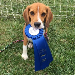 He had a speedy course time so Dylan won the tie and got First Place!! Good Beagle!! :heart:️:tada: