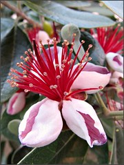Feijoa flower, close up