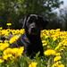 Buddy in yellow field of flowers by Flemming Andersen