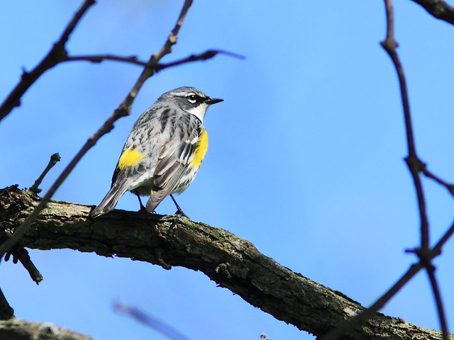 Yellow-rumped Warbler 3-20150513