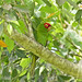 Red-masked Parakeet by Cajunspice