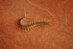 animal, invertebrate, insect, macro photography, fauna, close-up, centipede,