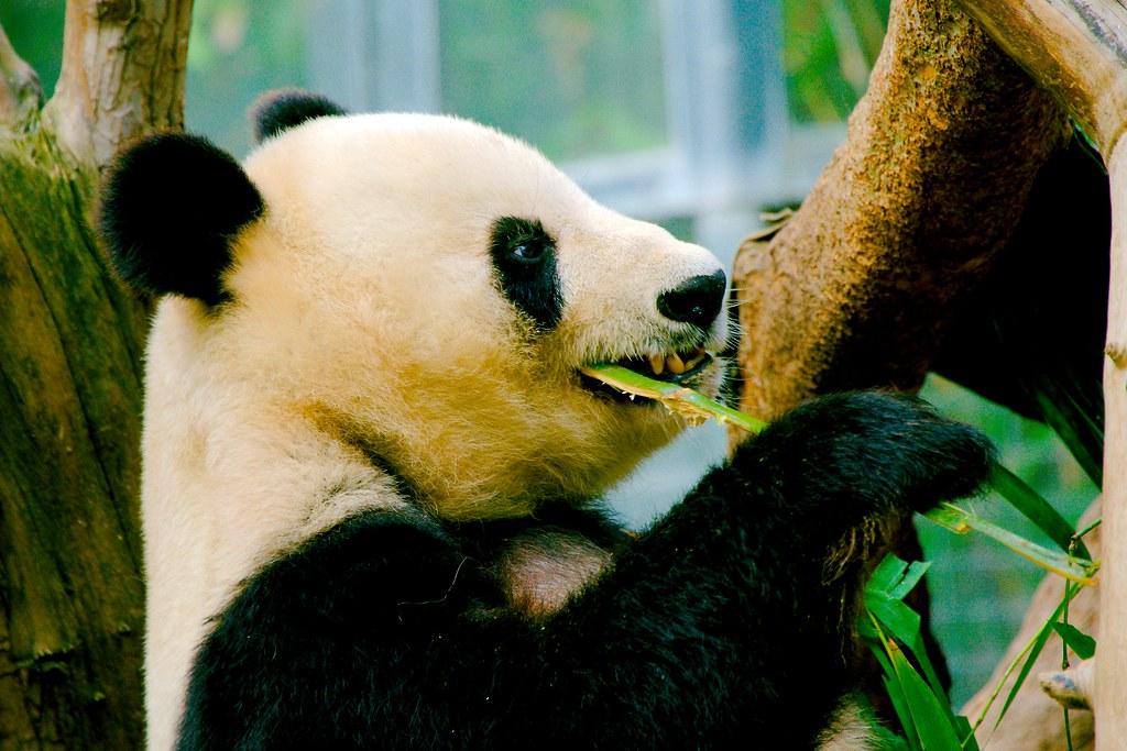 Giant Panda (Ailuropoda melanoleuca)_12