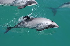 毛伊海豚。來源:NABU。